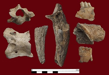 Figure 4. A selection of animal bones recovered from the damaged part of the site.